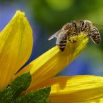 Ultra Bee bee-1575236_1920